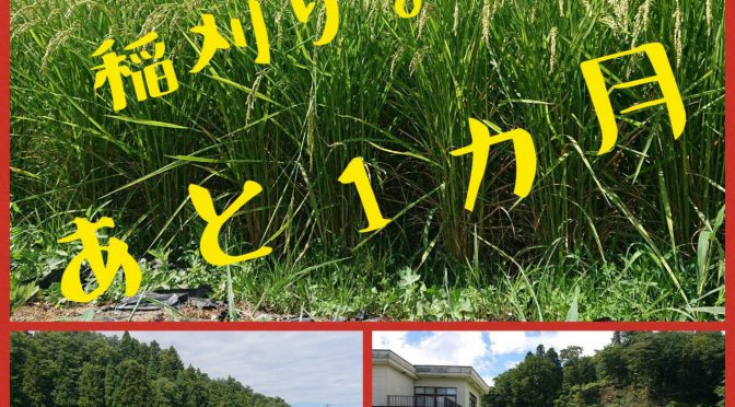 【ついに稲刈り1ヶ月前!!】